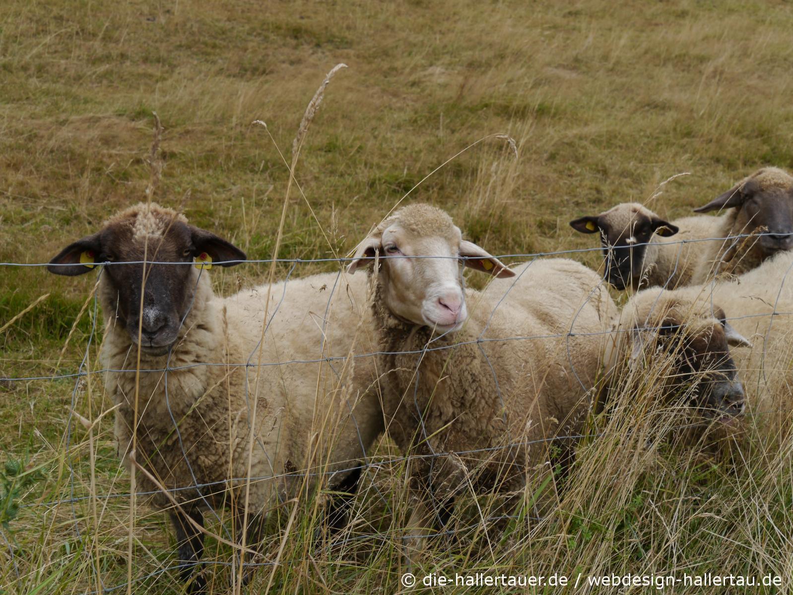 Hallertauer Schafe