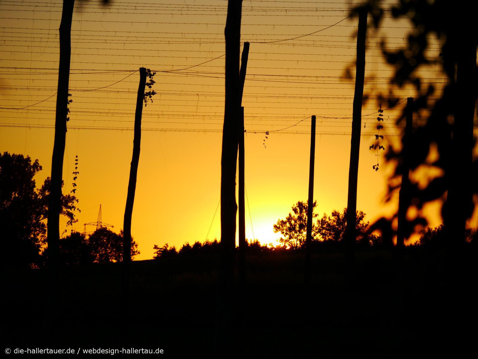 Hallertauer Abendsonne