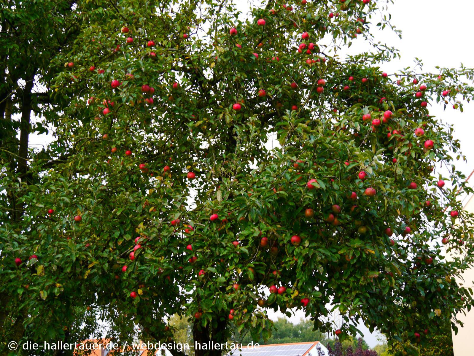 Hallertauer Apfelbäume