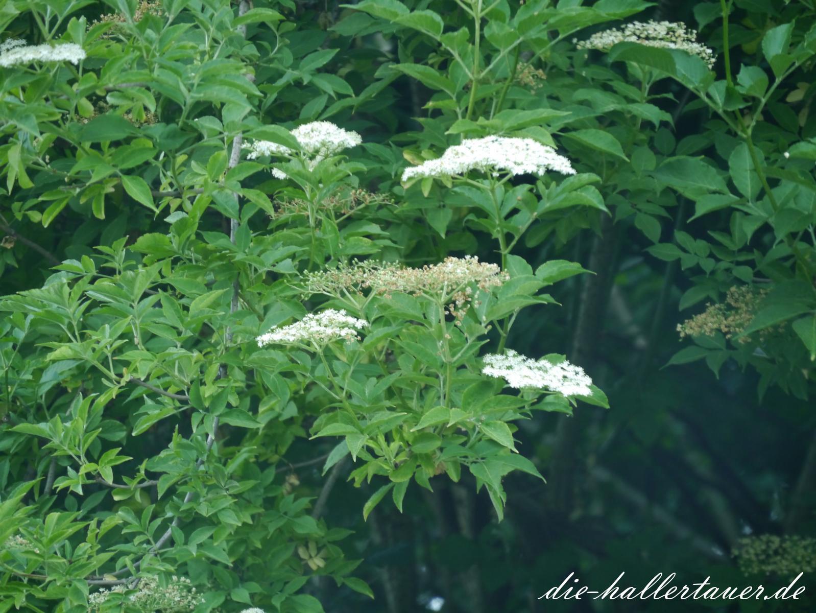 Hallertauer Holunder Blüten