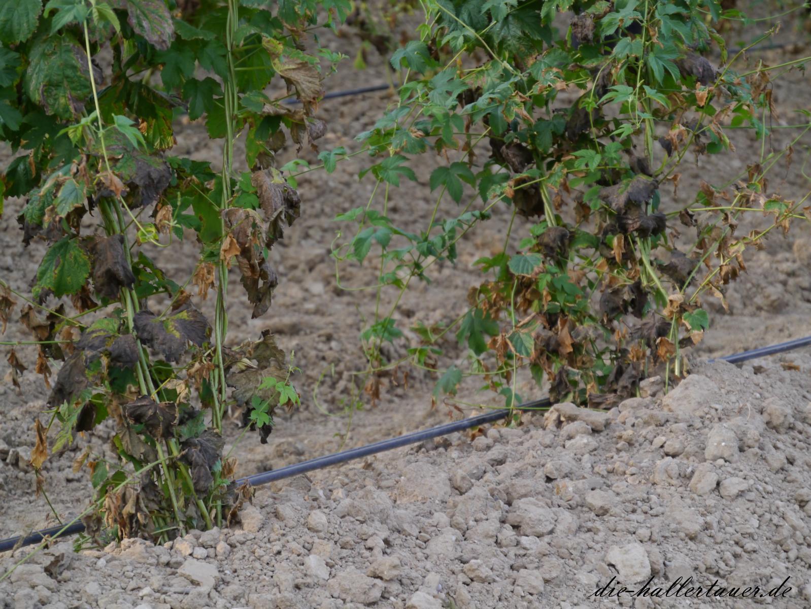 Hopfen Bewässerung